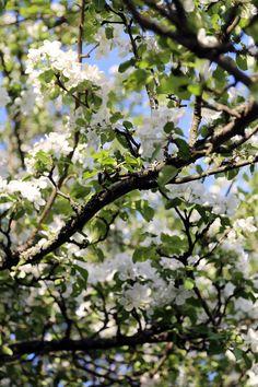 se paras aika vuodesta & kaunein omenapuu
