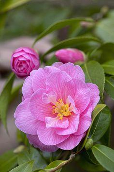 Camellia X Williamsii