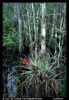 Bromeliads and cypress. Corkscrew Swamp, Florida, USA,Part of gallery of color pictures of USA by professional photographer QT Luong, available as prints or for licensing. Florida Girl, Visit Florida, Florida Living, South Florida, Florida Usa, Florida Sunshine, Sunshine State, River Of Grass, Florida Events