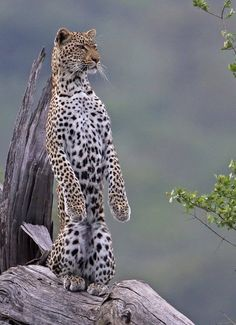 Leopard acting like a meerkat
