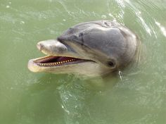 Moochie, the dolphin in Venice, FL Moochie died this year.the residents in Venice must miss her.