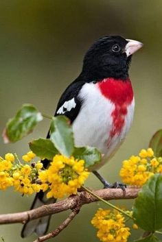 This beautiful seed-eating songbird is in the cardinal family. It breeds in cool-temperate North America and migrates to tropical regions in winter. Kinds Of Birds, All Birds, Cute Birds, Pretty Birds, Little Birds, Angry Birds, Most Beautiful Birds, Animals Beautiful, Exotic Birds