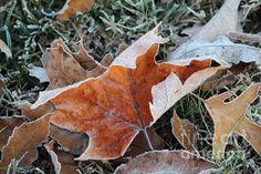 Frosted Leafs by Jamie Smith Frost, Plant Leaves, Plants, Photography, Photograph, Fotografie, Photoshoot, Plant, Planets