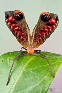 Peacock Katydid by Colin Hutton on 500px