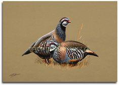 """Patirrojas"" - Pablo Pereira - Retratos de Fauna Exotic Birds, Colorful Birds, Bird Drawings, Animal Drawings, Game Birds, Animal Paintings, Oil Paintings, Sports Art, Wildlife Art"