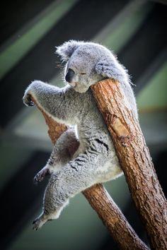Koala pose by Dr Nasseem Malouf