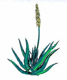 Aloès la plante qui guérit : Questions/Réponses, Aloe vera