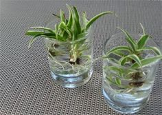 How to grow your spider plant babies #houseplantscare