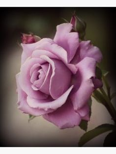 This is a Sterling Silver Rose. It is, in my opinion, the sweetest smelling rose on earth. It is also delicate and only blooms for a very short time. My absolute favorite rose. Lavender roses have the sweetest frangrance. Lavender Roses, Silver Roses, Purple Flowers, Lavender Hair, Lavender Color, Silver Ring, Purple Plants, Daisy Flowers, Orchid Flowers