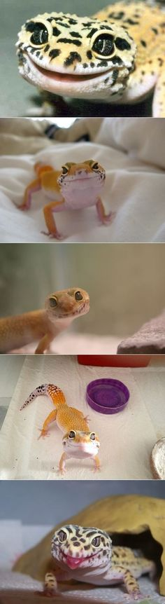 These Geckos Are Ridiculously Happy.