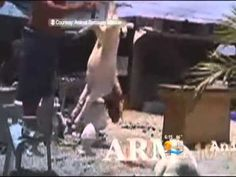 HORRIFIC  ILLEGAL SLAUGHTER HOUSE FOUND IN MIAMI