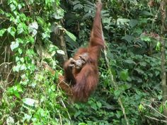 Oct 15, 2012: Demand for palm oil, used in packaged food products, leaves orangutans at risk