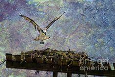 Title  Osprey-coming Home   Artist  Belinda Greb   Medium  Photograph - Photograph, Photography, Photographs