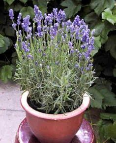 Really good info about growing lavender in containers