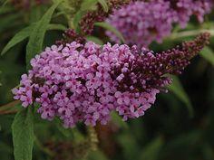 Butterfly Bush BUZZ 'Lavender'
