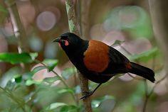Saddlebacks or tieke are two species of New Zealand bird of the family Callaeidae.