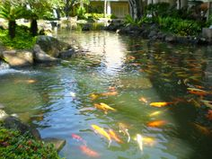 Beautiful Koi Pond in Utopia.  The fish must have been imported from Japan.  I wonder what other Japanese inluences are in Utopia