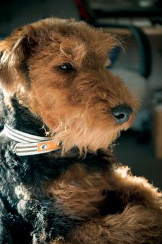 Pictures of Welsh Terriers [Slideshow]