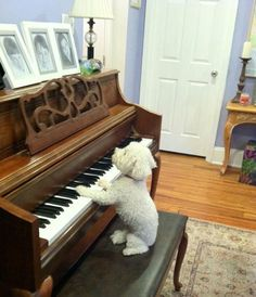 Henry, a Bichon Frise from New Orleans, Louisiana