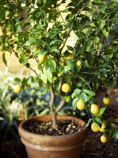 Lemon Trees Love the Outdoors