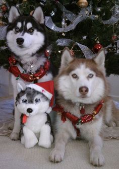 ♥ A Husky Christmas My Husky, Siberian Husky Puppies, Husky Puppy, Siberian Huskies, Cute Puppies, Cute Dogs, Dogs And Puppies, Doggies, Christmas Animals