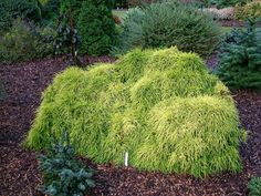 sungold cypress - Google Search
