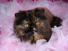 """Tortoieshell Persian she looks just like my """"Aloha Dolly""""....baby girl born in VA Bch VA...went to HI and back to mainland to AZ..she lived 15yrs. I miss my BFF!"""