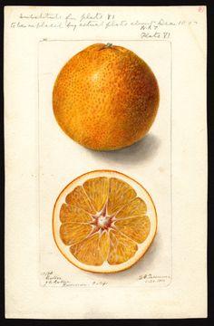 Artist:Passmore, Deborah Griscom, 1840-1911 Scientific name:Citrus sinensis Common name:oranges art original : col. ; 17 x 25 cm.Year:1900