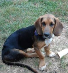 BROOD (www.brood-va.org) Josie is an adoptable basset hound mix looking for a home in VA, DC, MD or WV! Female ~ 6 months - 2 years old.