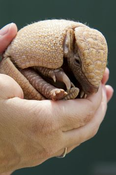 Baby Armadillo at Busch Gardens,  Tampa Bay, FL: At birth, a three banded armadillo is the size of a golf ball, now at one month, the size of a tennis ball.