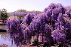 Beautiful Wisteria: ~ How to Plant, Grow, and Care for Wisteria    http://www.almanac.com/plant/wisteria