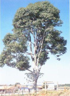 Exemplos de plantas gimnospermas yahoo dating