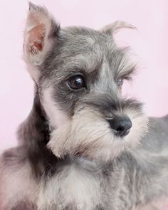 Teacup and Toy Breed Puppies
