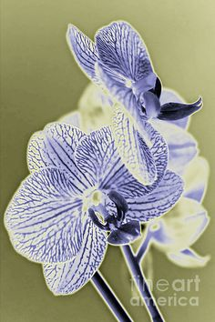 http://toula-mavridou-messer.artistwebsites.com/featured/new-photographic-art-print-for-sale-orchids-7-toula-mavridou-messer.html
