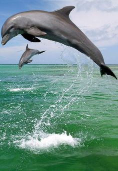 Bottlenose Dolphin Wallpaper Dolphins Animals Wallpapers) – Wallpapers For Desktop Beautiful Creatures, Animals Beautiful, Animals Amazing, Baby Dolphins, Bottlenose Dolphin, Water Animals, Delphine, Ocean Creatures, Mundo Animal