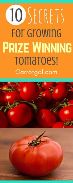 10 secrets for growing prize winning tomatoes - Growing tomatoes, Tomato plant, Cherry tomatoes, how to plant tomatoes | Carrotgal.com