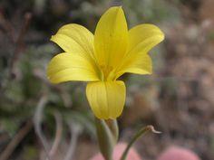 Olyscium biflorum [Family: Iridaceae] -  Flickr - Photo Sharing!
