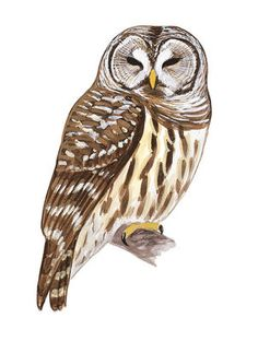 """Found almost throughout North America and much of South America is this big owl. Aggressive and powerful in its hunting (sometimes known by nicknames such as """"tiger owl""""), it takes prey as varied as rabbits, hawks, snakes, and even skunks, and will even attack porcupines, often with fatal results for both prey and predator. Great Horned Owls begin nesting very early in the north, and their deep hoots may be heard rolling across the forest on mid-winter nights."""