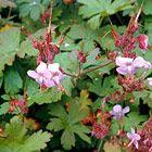 <i>Geranium macrorrhizum</i> 'Ingwersen's Variety'