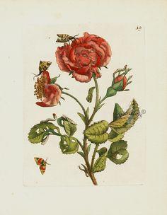 Maria Sibilla Merian Der Rupsen Begin Prints 1713