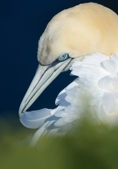 Precious Feather by Harry Eggens Northern Gannet on Helgoland busy with cleaning one of its precious feathers.©Harry EggensBest wishes,Harry Harry Eggens: Photos Fotografia Macro, Natural Selection, Types Of Animals, Vertebrates, Big Bird, Cool Photos, Birds, Nature, Artwork