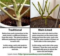 The difference between main-lining and traditional marijuana growing methods explained in picture format - Nugbuckets main-lining tutorial