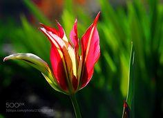 Tulip (Andrey Glushenko / Krasnodar / Russia) #NIKON D300 #macro #photo #insect #nature