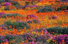 Namaqualand, Namibia/South Africa Namaqualand is an arid region of Namibia and South Africa, extending along the west coast over 600 miles. Namaqualand is popular with both local and international. South African Flowers, Frans Lanting, Spring Wildflowers, Spring Flowers, Le Cap, Cape Town South Africa, Nature Reserve, Prado, Destinations