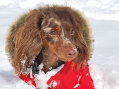 Cappucino Latte  double dapple miniature long hair dachshund