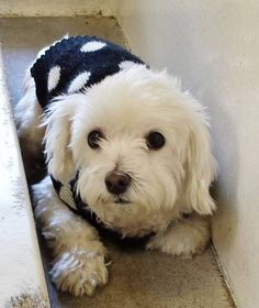 ·A4788738 My name is Lola and I'm an approximately 5 year old female maltese. I am not yet spayed. I have been at the Carson Animal Care Center since January 2, 2015. I am available on January 2, 2015. You can visit me at my temporary home at C240.  My former family who owned me for more than a year had to give me up