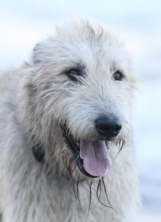 Irish Wolfhounds, Gallery, Dogs, Roof Rack, Pet Dogs, Doggies