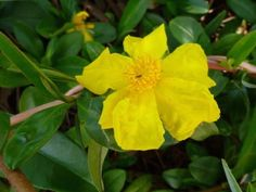 Hibbertia scandens flower