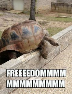 The Great Turtle Escape   // funny pictures - funny photos - funny images - funny pics - funny quotes - #lol #humor #funnypictures