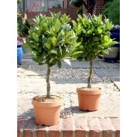 Pair of 1/4 Standard Bay Trees with Twisted Stems | Topiary Buy & Hire | Top Topiary